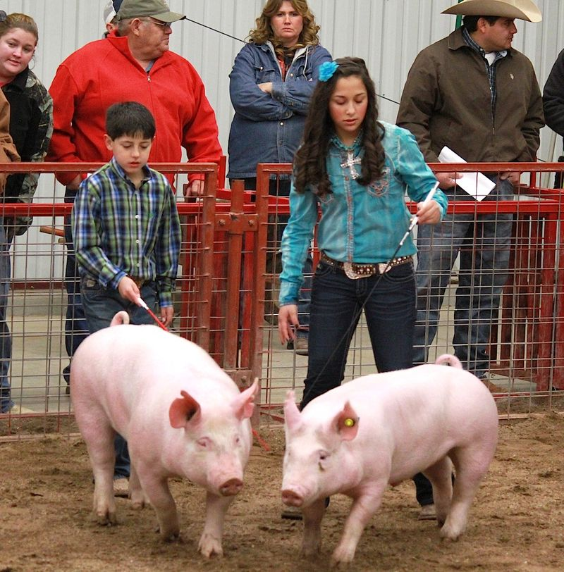 Show Pigs in Texas For The Pig Show at The